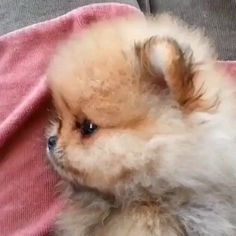 cute teacup puppies Cuteness to da max! Teacup Pomeranian Puppy, Cute Teacup Puppies, Chihuahua Puppies, Cute Puppies, Fluffy Puppies, Husky Puppy, Cute Baby Animals, Animals And Pets, Funny Animals