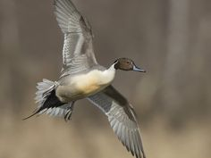 Northern Pintail - Tzitzihua