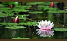 Image result for lotus flower images free