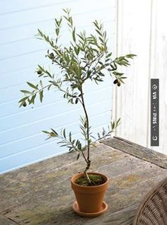 Cool indoor olive tree | CHECK OUT MORE GREAT HOME DECOR IDEAS AT DECOPINS.COM | #homedecor #homedecoration #decorators#decorating #interiordesign #kitchens #kitchenideas