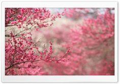Sakura Cherry Blossom HD Wide Wallpaper for Widescreen