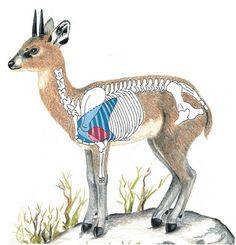 Klipspringer Shot Placement Africa Hunting, Boar Hunting, Big Game Hunting, Hunting Tips, Hunting Boots, Hunting Season, Safari, Bow Hunter, Hunting Equipment