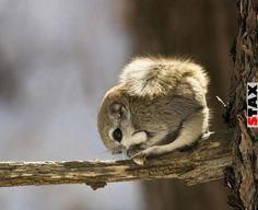 STAX | 20 bizonyíték, hogy a repülő mókus a legcukibb állat a világon