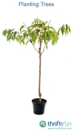 This is a guide about planting trees. Trees add beauty to your garden as well as help to keep your home cool on sunny days.