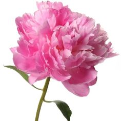 peony flowers - Google Search
