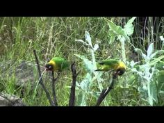 Yellow collared Lovebird Love Birds, Bing Images, Collars, Yellow, Mini, Animals, Necklaces, Animales, Animaux
