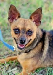 Stanley (pocket size!) is an adoptable Chihuahua Dog in Portsmouth, RI. Stanley's cuteness quotient is 1,000%! This little black and brown 6 lb. Chihuahua mix will make anyone a fan of small dogs, he ...