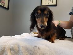 Dachshund dog for Adoption in Stonyford, RI. ADN-514465 on PuppyFinder.com Gender: Female. Age: Adult