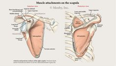 View of scapula and the rotator cuff origins from the shoulder blade.