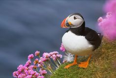 A North Atlantic Puffin stopping to smell the flowers.