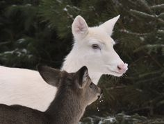 """ Ma You Got Snow on Your Nose"" Wild Albino whitetail deer of Boulder Junction Wisconsin Unusual Animals, Rare Animals, Animals Beautiful, Boulder Junction, Albino Deer, St Brigid, Deer Photos, Wood Nymphs, Scenery Photography"