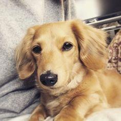 なんだか、眠そう。 _ #膝の上で落ち着く #ねむねむ #ミニチュアダックスフンド #ミニチュアダックス #ダックス #犬 #愛犬 #犬バカ部#dachshund #dog #ラテ #新潟
