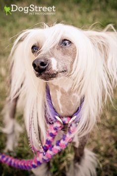 Chinese Crested - I want this breed really really badly!