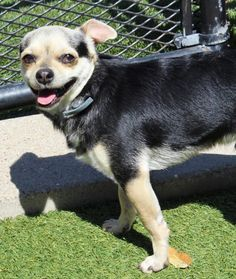 Meet Victor, a Petfinder adoptable Chihuahua Dog | Carrollton, TX | Hey what's up wit you?? My name is Victor and I am a wee little 9.5 pound Chihuahua mixed boy who...