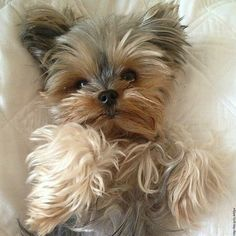 "Receive wonderful recommendations on ""yorkshire terrier puppies"". Yorkies, Yorkie Puppy, Morkie Puppies, Pomeranian Dogs, Poodle Puppies, Chihuahua, Yorky Terrier, Yorshire Terrier, Bull Terriers"