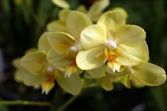 orchids pictures | Yellow Orchids close up