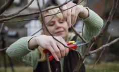 Apfelbäume richtig schneiden -  Große alte Apfelbäume werden von Obstbauern oft abfällig Holzfabriken genannt. Aber auch Hobbygärtner setzen immer mehr auf schwach wachsende Spindelbäume, die mit wenig Schnitt auskommen und hohe Erträge bringen.