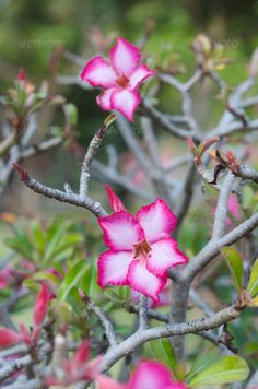Realistic Graphic DOWNLOAD (.ai, .psd) :: http://jquery-css.de/pinterest-itmid-1006669153i.html ... Desert Rose ...  bloom, blooming, blossom, botany, color, desert, flora, floral, flower, freshness, garden, green, growth, leaf, lily, natural, nature, organic, petal, pink, plant, red, summer, tropical  ... Realistic Photo Graphic Print Obejct Business Web Elements Illustration Design Templates ... DOWNLOAD :: http://jquery-css.de/pinterest-itmid-1006669153i.html