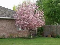 Brandywine Crabapple Tree