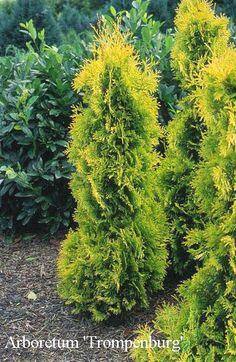 Yellow ribbon thuja Bonsai Garden, Lush Garden, Garden Trees, Lawn And Garden, Garden Plants, Evergreen Garden, Evergreen Shrubs, Trees And Shrubs, Trees To Plant