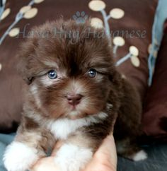 Puppies For Sale - HavaHug Havanese Puppies Havanese Puppies For Sale, Teddy Bear Puppies, Havanese Dogs, Dogs And Puppies, Havanese Breeders, Maltipoo, Cute Dog Photos, Puppy Pictures, Really Cute Puppies