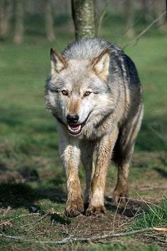 Wolf Images, Wolf Photos, Wolf Pictures, Beautiful Wolves, Animals Beautiful, Cute Animals, Wild Animals, Baby Animals, Pet Wolf