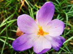 Crocus flower Copyright (C) Barbie Swan 2015