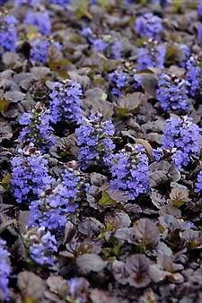 Ajuga Black Scallop Pp15815 Bugleweed The Glossy Scalloped Leaves And Dense