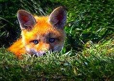 Little Red Fox /Crazy like a fox - Original fine art wildlife nature photography by Bob Orsillo.  Copyright (c)Bob Orsillo / http://orsillo.com - All Rights Reserved.  Buy art online.  Buy photography online   Little Red Fox cub poking her head out of a fox hole.