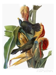 Audubon: Grackle Art by John James Audubon at AllPosters.com