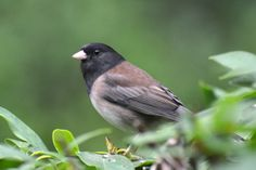 The Dark-eyed Junco was the most spotted bird in the Pacific Flyway during last year's Great Backyard Bird Count. Join us this tomorrow for the start of this year's count.