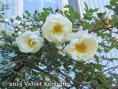 Juhannusruusu, the Finnish midsummer rose