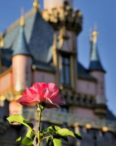 Disneyland Rose. I have one of these rose bushes (beautiful). Sadly, I do not have the castle in the background, too. :)
