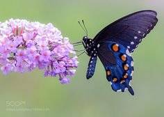 Swallowtail by coremember123 #animals #animal #pet #pets #animales #animallovers #photooftheday #amazing #picoftheday