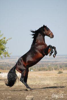 Karachai stallion Faraon