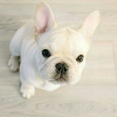 That face ❤ www.frenchbulldogbreed.net