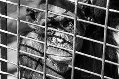 Sad eyes Photos A shot of a sad chimpanzee in the cage of a zoo by mmeida
