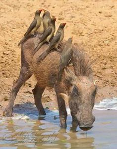 A warthog quenching thirst