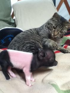 Who knew that pigs could make best friends with a cat?