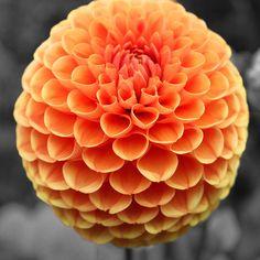 Image from http://images.fineartamerica.com/images-medium-large-5/orange-dahlia-sumit-mehndiratta.jpg.