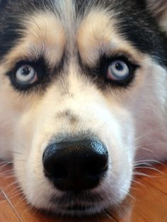 Huskies- More personality than most people.