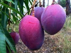 Dwarf  Irwin Mango - Mango purple fruit