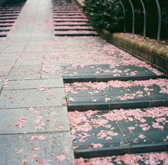 have fallen by tyosshiman japan sakura cherry blossom tree petals on stairs