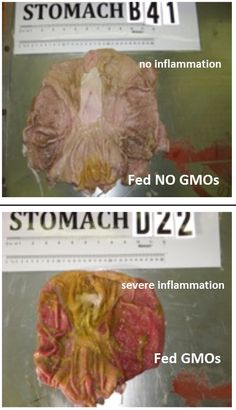 GMO feed turns pig stomachs to mush! Shocking photos reveal severe damage