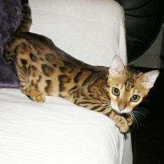 I really want a mini leopard (bengal cat) at home