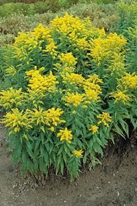 Solidago canadensis 'Golden Baby'.  Perennial blooming first year from seed.