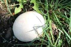 How to Eat the Giant Puffball XD (With a giant smile on your face, they're delish! Garden Mushrooms, Edible Mushrooms, Growing Mushrooms, Wild Mushrooms, Stuffed Mushrooms, Puffball Mushroom, Mushroom Spores, Mushroom Identification, Mushroom Grow Kit