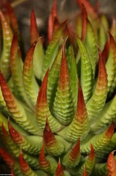 Red-tipped Haworthia reinwardtii, via Flickr. These make me think of Ursula of Little Mermaid! They are really cool!
