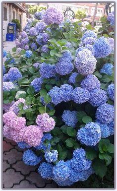 Ortanca Çiçeği   Bakımı, Üretimi, Yetiştirilmesi - Sayfa 6 - Forum Gerçek