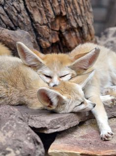 Young Fennec Fox Kits Just Sleeping Away. Cute Wild Animals, Animals Beautiful, Nature Animals, Animals And Pets, Fennec Fox, Foxes Photography, Pet Fox, Wild Dogs, Fox Art